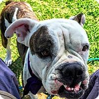 Adopt A Pet :: Pinky - Dallas, TX