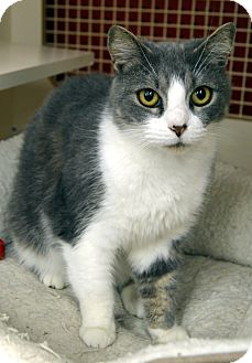 Domestic Shorthair Cat for adoption in Richmond, Virginia - Bobbi Flufferton