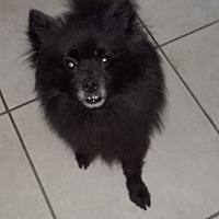 Adopt A Pet :: Sparky - Spring Hill, FL
