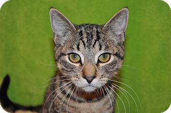 Domestic Shorthair Kitten for adoption in Foothill Ranch, California - Beau