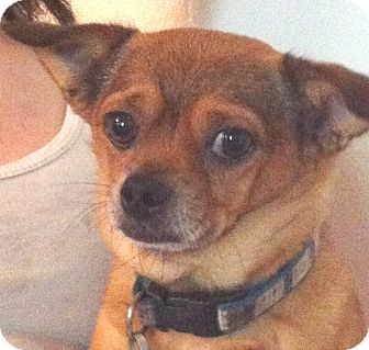 Chihuahua Mix Dog for adoption in Orlando, Florida - Poncho