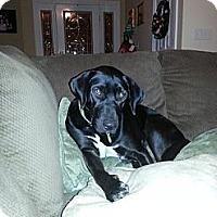 Adopt A Pet :: Sampson - Hendersonville, TN