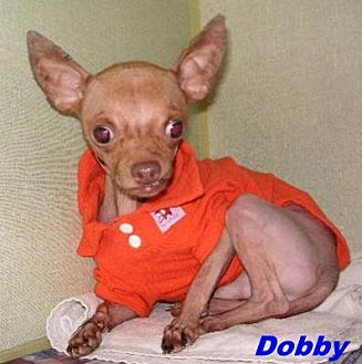Chihuahua Mix Dog for adoption in Hawk Springs, Wyoming - Dobby