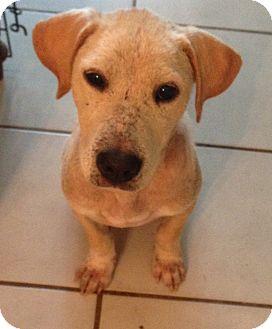 Golden Retriever/Labrador Retriever Mix Puppy for adoption in KITTERY, Maine - LUCY