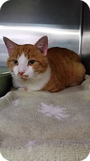 Domestic Shorthair Cat for adoption in Mt. Airy, North Carolina - Mischief