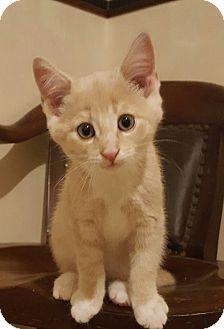 Domestic Shorthair Kitten for adoption in E. Claridon, Ohio - Jerry