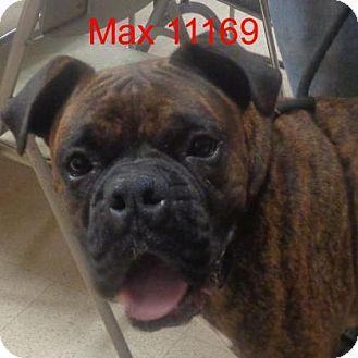 Boxer Dog for adoption in Alexandria, Virginia - Max