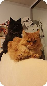 Domestic Shorthair Cat for adoption in THORNHILL, Ontario - Gin