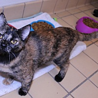 Calico Kitten for adoption in Lumberton, North Carolina - Chrissy