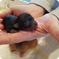Adopt A Pet :: Prince Phillip - Chantilly, VA