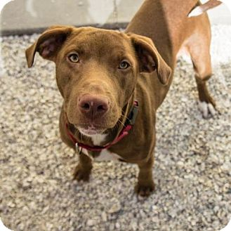 Labrador Retriever/Pit Bull Terrier Mix Dog for adoption in St. Petersburg, Florida - Jonah