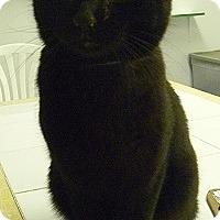 Domestic Shorthair Cat for adoption in Hamburg, New York - Fig