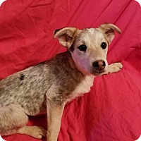 Adopt A Pet :: Indigo - Trenton, NJ
