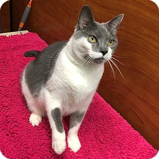 Domestic Shorthair Cat for adoption in Fairfax, Virginia - Fiona - Lap Cat