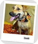 Shepherd (Unknown Type)/Terrier (Unknown Type, Medium) Mix Dog for adoption in Manchester, Connecticut - Goldi in Ct