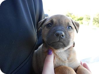 German Shepherd Dog Mix Puppy for adoption in Atascadero, California - Carrie