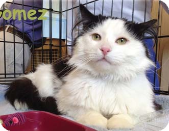 Domestic Longhair Cat for adoption in Merrifield, Virginia - Gomez