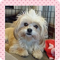 Adopt A Pet :: Sugar Pie - Toluca Lake, CA