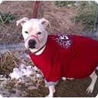 Adopt A Pet :: Stella - Golden, CO