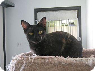 Domestic Shorthair Cat for adoption in Manning, South Carolina - Ashes