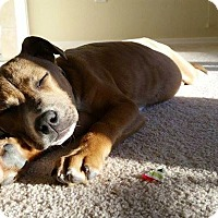 Adopt A Pet :: Dixie - Westminster, CO