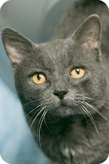 Domestic Shorthair Cat for adoption in Manteo, North Carolina - Grits