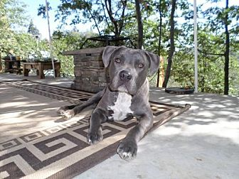 American Pit Bull Terrier Mix Dog for adoption in Mission Viejo, California - Bodhi