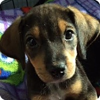Adopt A Pet :: Hannah - Minneapolis, MN