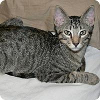 Domestic Shorthair Kitten for adoption in Garland, Texas - Zeus
