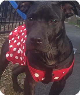 Staffordshire Bull Terrier Mix Dog for adoption in Morristown, New Jersey - Eva