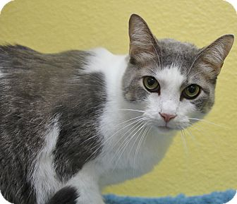 Domestic Shorthair Cat for adoption in Benbrook, Texas - Rowdy