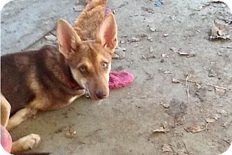 Shepherd (Unknown Type) Mix Dog for adoption in Austin, Texas - Bridget
