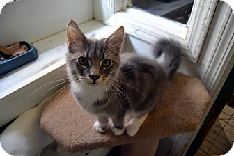 Domestic Mediumhair Cat for adoption in Broadway, New Jersey - Larry