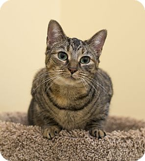 Domestic Shorthair Cat for adoption in Charlotte, North Carolina - A..  Bianca