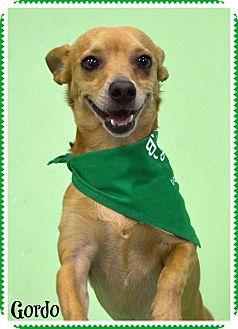 Chihuahua Mix Dog for adoption in Phoenix, Arizona - Gordo