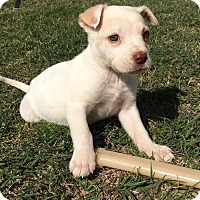 Rat Terrier Mix Puppy for adoption in Jacksonville, North Carolina - Isis