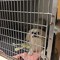Adopt A Pet :: Thor - Ozone Park, NY