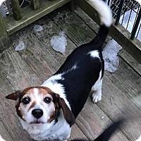 Adopt A Pet :: Desmond - Saranac Lake, NY