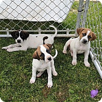 Adopt A Pet :: Vader, Sylver and Cierra - Lisbon, OH
