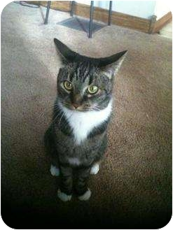 Domestic Shorthair Cat for adoption in Saint Albans, West Virginia - Tuddy