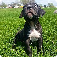 Adopt A Pet :: Onyx - Reisterstown, MD