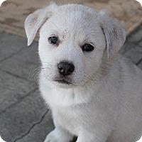 Adopt A Pet :: Lady - La Habra Heights, CA