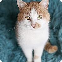Adopt A Pet :: Tyson - Eagan, MN