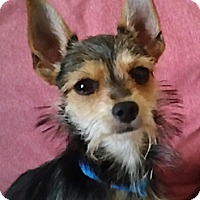 Adopt A Pet :: Phineas - tiny little man! - Phoenix, AZ