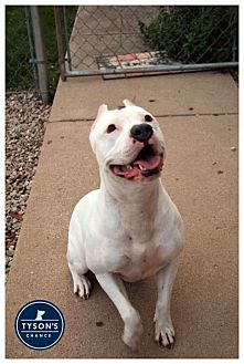 Pit Bull Terrier Mix Dog for adoption in Shelbyville, Kentucky - King Q