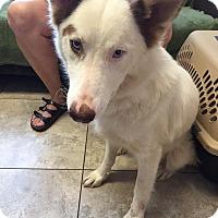 Adopt A Pet :: SIBERIAN MOLLY - Higley, AZ