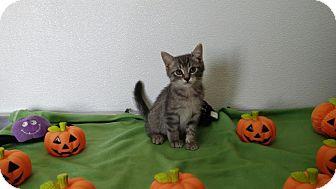 Domestic Shorthair Kitten for adoption in China, Michigan - Aspen
