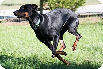Doberman Pinscher Dog for adoption in Greensboro, North Carolina - SAYLOR