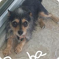 Adopt A Pet :: SIMBA - Palm Bay, FL