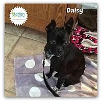Adopt A Pet :: Daisy - Plainfield, IL